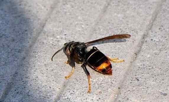 墨胸胡蜂 墨胸胡蜂泡酒有什么作用 墨胸胡蜂真的能蛰死人吗