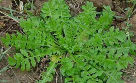 芥菜是什么 野生芥菜有毒吗 吃野芥菜有什么副作用