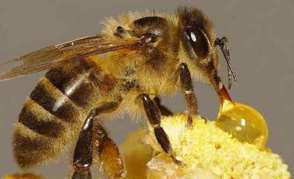 蜜蜂为什么要采蜜 蜜蜂怎样酿蜜 蜜蜂为什么要酿蜜