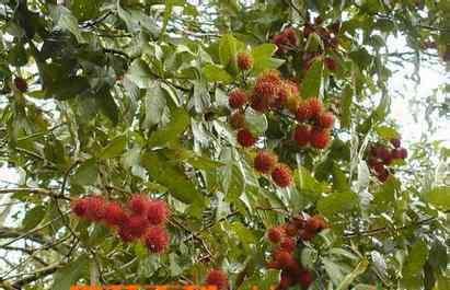 红毛丹的营养价值 红毛丹的营养价值